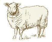 Zeiserhof - Schaf